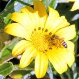 Gazania 2011 del amarillo de Ramat Gan Park Fotos de archivo libres de regalías