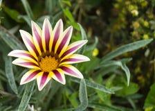 Gazania del fiore sullo strato di verde del fondo Immagine Stock Libera da Diritti