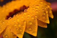 Gazania dourado com gotas Fotografia de Stock