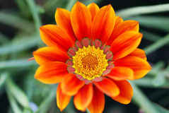 Gazania Flower. Close-up of a colorful South African gazania flower Royalty Free Stock Photos