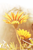 Gazania Flower Stock Images