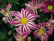 Gazania flower with beautiful pink and white colors , yellow centre stock photo