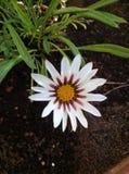 Gazania Flower. Beautiful Gazania Flower with white and purple leafs and yellow orange center Royalty Free Stock Photography