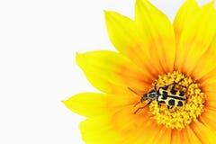 Gazania flower with beetle Royalty Free Stock Photos