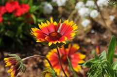Gazania Flower in Bloom in gardens at Balboa Park San Diego Cali royalty free stock photo
