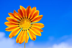 Gazania flower. On blue sky background royalty free stock photography