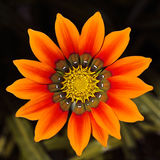 Gazania flower at close range Stock Photography