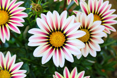 Gazania Flower field Gazania rigens macro shot Royalty Free Stock Photo