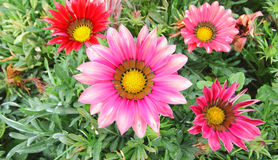 Gazania flower field stock photo