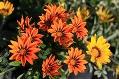 Gazania flower  in the garden. Beauty full gazania  flower  in the garden Royalty Free Stock Image