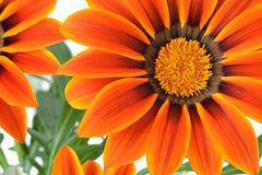Gazania flower macro. Orange and yellow Gazania - flower macro Stock Photography