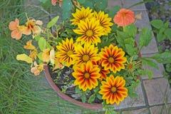 Gazania flower. Stock Images