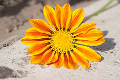 Gazania flower. On stone Stock Photography
