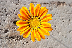Gazania flower on stone Stock Images