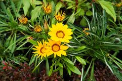 Gazania flower Royalty Free Stock Images