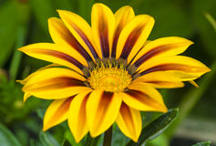 Gazania flower in yellow and brown colors Royalty Free Stock Photography
