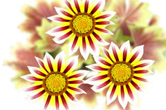 Gazania flowers Royalty Free Stock Image