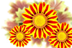 Gazania flowers Royalty Free Stock Photography