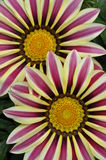 Gazania flowers Stock Photography