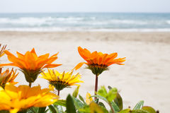 Gazania Flowers Beach Background Stock Photos