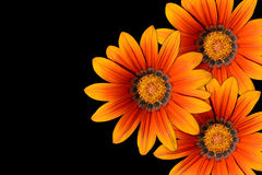 Gazania flowers Royalty Free Stock Photo