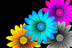 Gazania flowers CMYK Royalty Free Stock Images