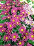 Gazania flowers with different pink and white styles royalty free stock photography