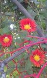 Gazania flowers girasoles de africa stock image