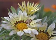 Gazania flowers with little snail royalty free stock photography