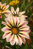 Gazania flowers with rain drops Stock Images