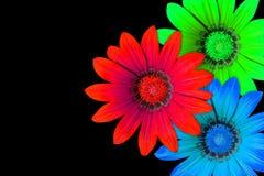 Gazania flowers, RGB stock photos