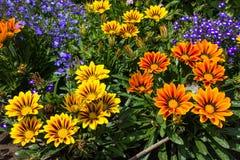 Gazania flowers in the summer garden. Raznotsventye Bright flowers on a green background. Stock Photography
