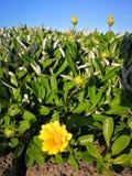 Gazania flowers. Thick mat of plants Royalty Free Stock Photos
