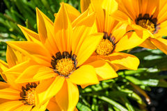 Gazania flowers - yellow daisies with green folliage. Gazania flowers - yellow daisies with green foliage in pot Royalty Free Stock Photo