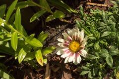 Gazania on the garden. Beautiful single white gazania on the garden Stock Photo