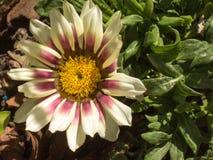 Gazania on the garden. Beautiful single white gazania on the garden Stock Photos