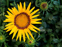 Gazania, garden plant with bright yellow flower. Stock Photography