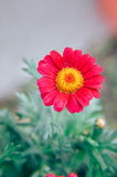 Gazania garden plant in flower.Pink and red Stock Photos