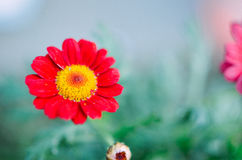 Gazania garden plant in flower.Pink and red Royalty Free Stock Photos