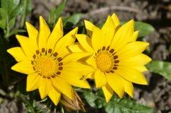 Gazania gemini. Two yellow gazania flower Royalty Free Stock Photography