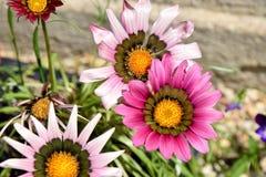 Gazania Home Garden Plant Gardening Planting Srock Photo. Gazania Home Garden Flower Plant Gardening Planting Floral Stock Photo stock image