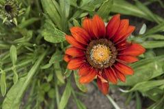Gazania jaskrawy pomarańczowy kwiat Fotografia Stock