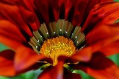 Gazania krebsiana Blume Stockfotos