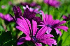 Gazania krebsiana Blume Stockfotografie