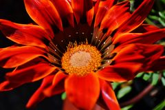 Gazania krebsiana flower Royalty Free Stock Photography