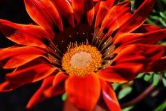 Gazania krebsiana flower Royalty Free Stock Photography