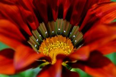 Gazania krebsiana flower Stock Photos