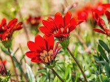 Gazania krebsiana Stock Photography