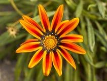 Gazania kwiat Fotografia Royalty Free