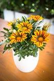 Gazania kwiatu miejscowy Południowa Afryka, ale zakłada szeroko w Austr Zdjęcia Stock